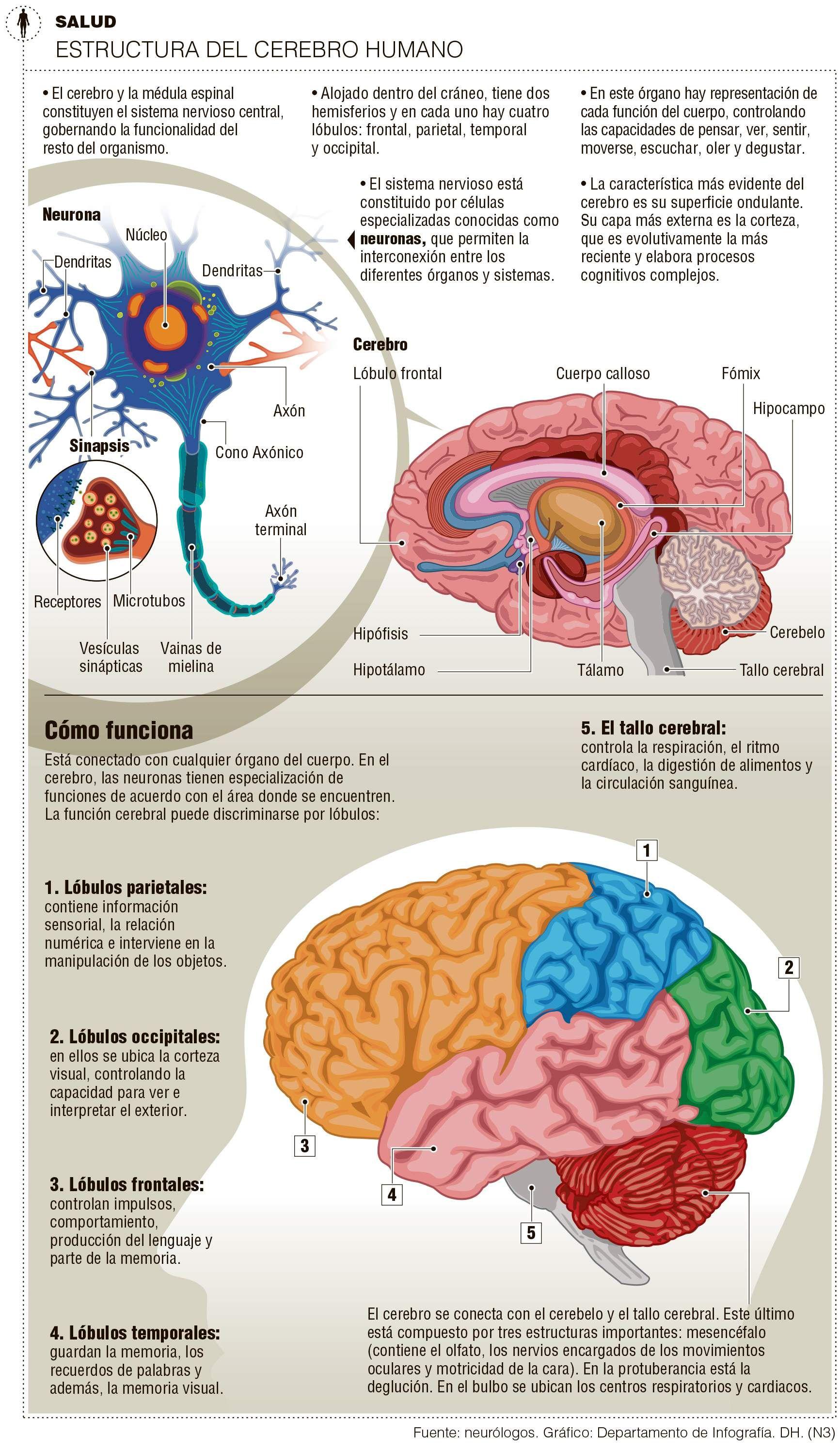 Estructura del cerebro humano | Anatomía | Pinterest | Estructura ...