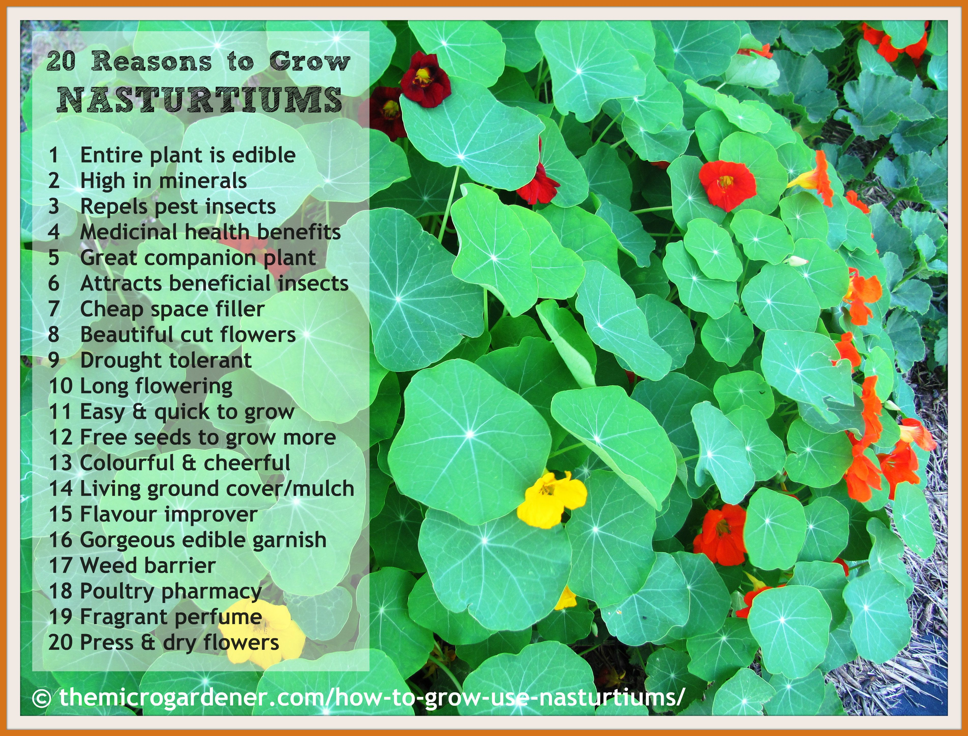 NASTURTIUMS DID YOU KNOW These cheerful flowers are far more