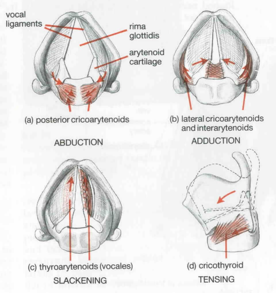 hight resolution of vocal action the vocal folds stretch across the larynx this picture shows several types of vocal activity that contribute to the singing process