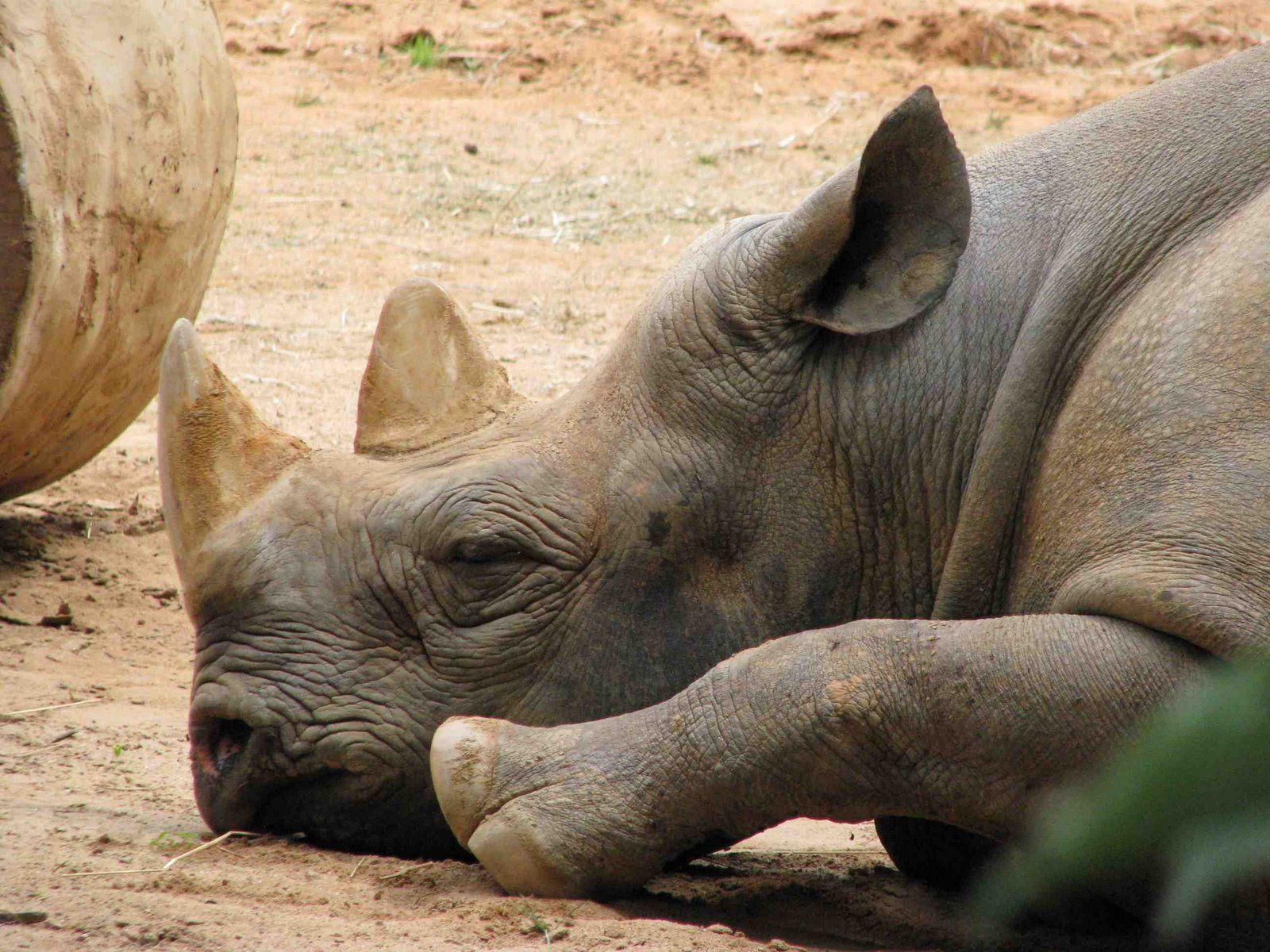 sleeping rhino | at San Diego Zoo | Benjamin Becker | Flickr