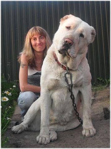 Very Large Alabai Dog Breeds Alabai Dog Kangal Dog