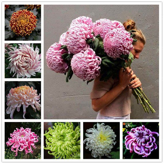 100 Pcs Carnation Bonsai Perennial Flower High Survival Rate Mother Flower Bonsai Rare Flower Bonsai For Home Garden Making Things Convenient For The People Home & Garden