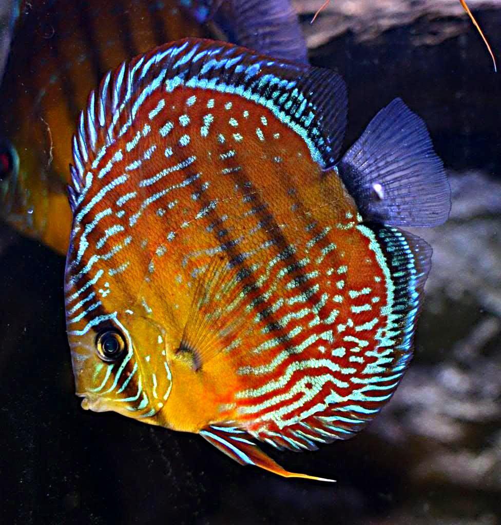 Bruine Discus Discus Fish Tropical Freshwater Fish Tropical Fish Aquarium