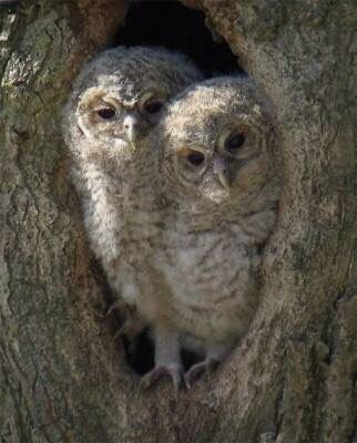 Two Owlets in a tree