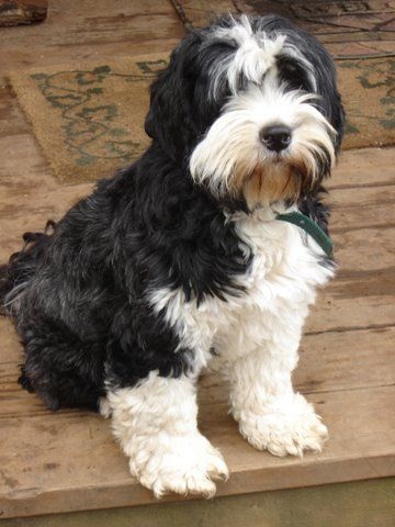 Check out this cutie pie! Tibetan Terriers are terrific