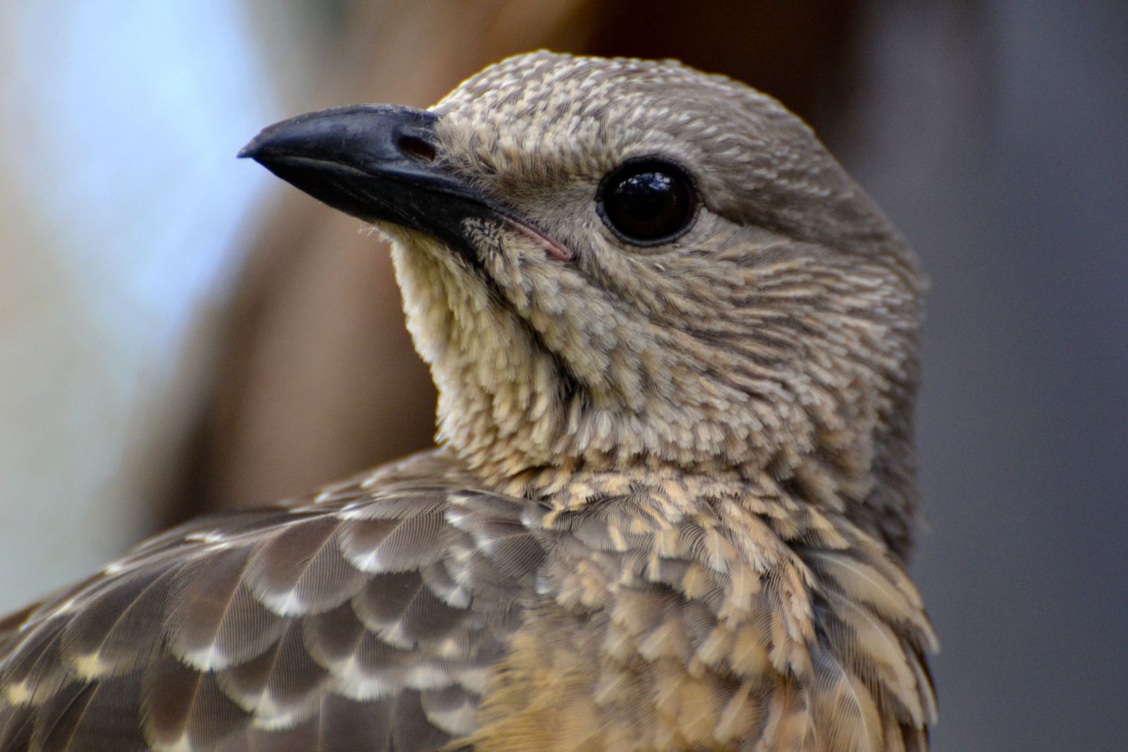 Fawn-breasted Bowerbird | by writhedhornbill