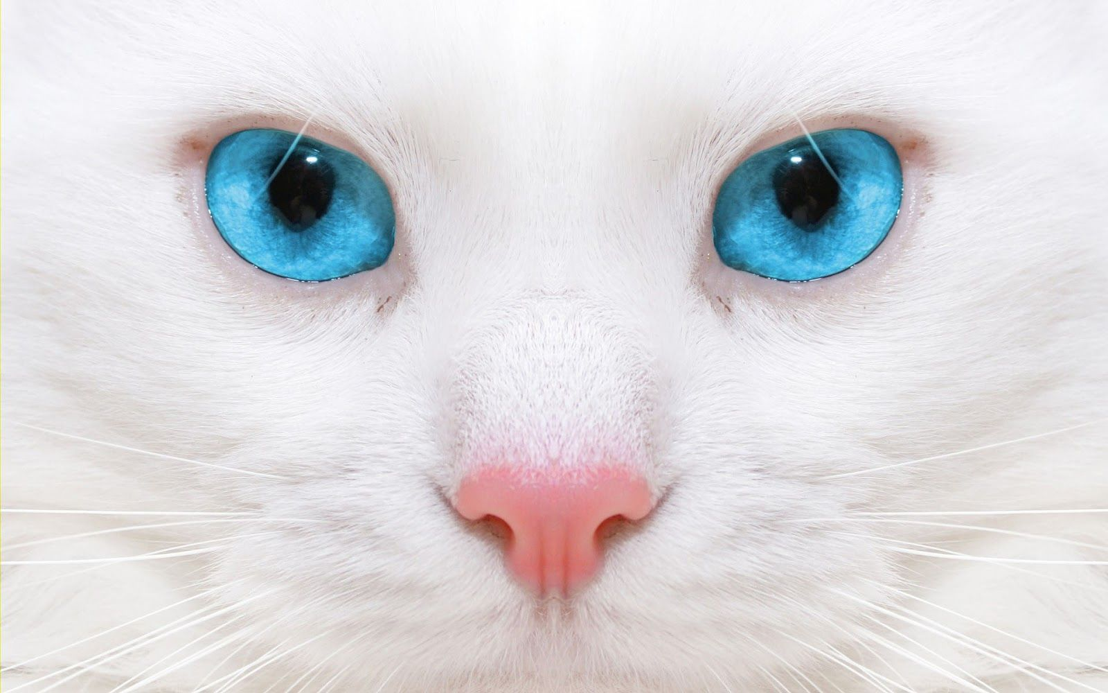 Pin By Consuelo Friedman On Kitty Love Cat With Blue Eyes White Cats Cats And Kittens