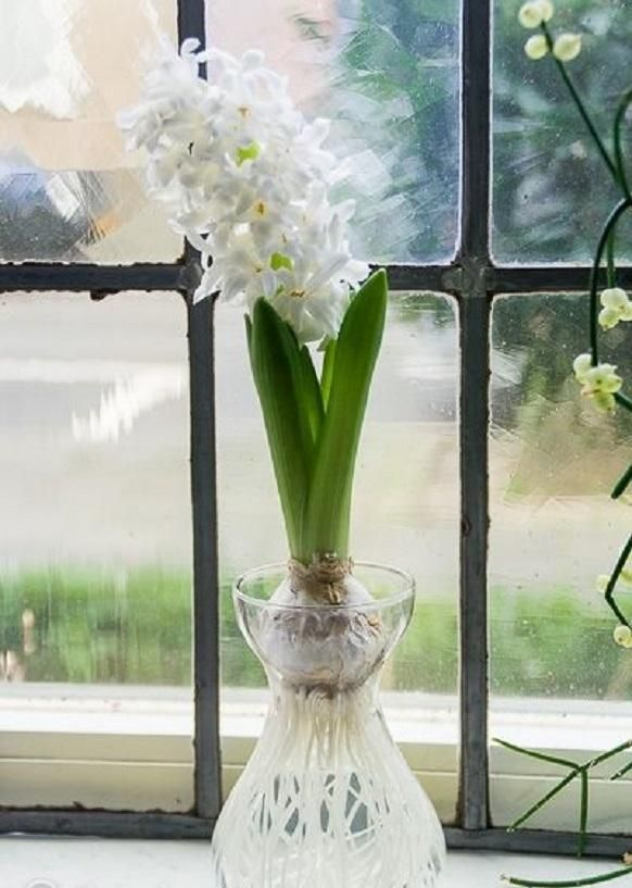 White Hyacinth Bulb Forcing Kit Clear Glass Vase With White