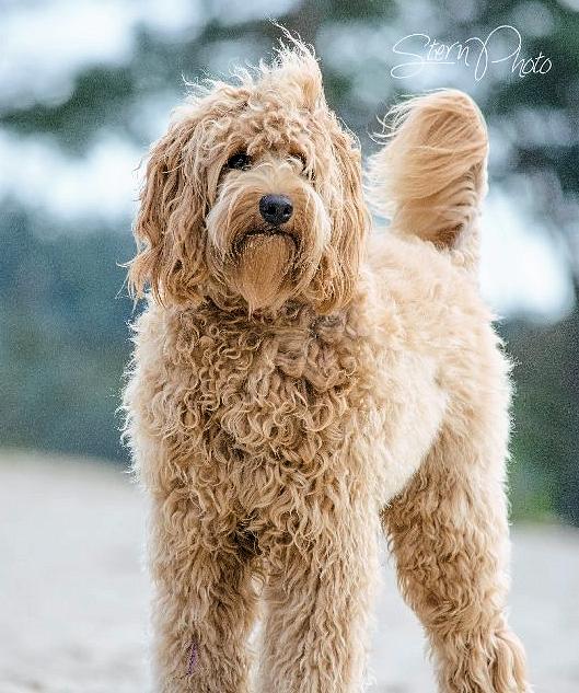 Cream Gold Australian Labradoodle Puppy Red Australian