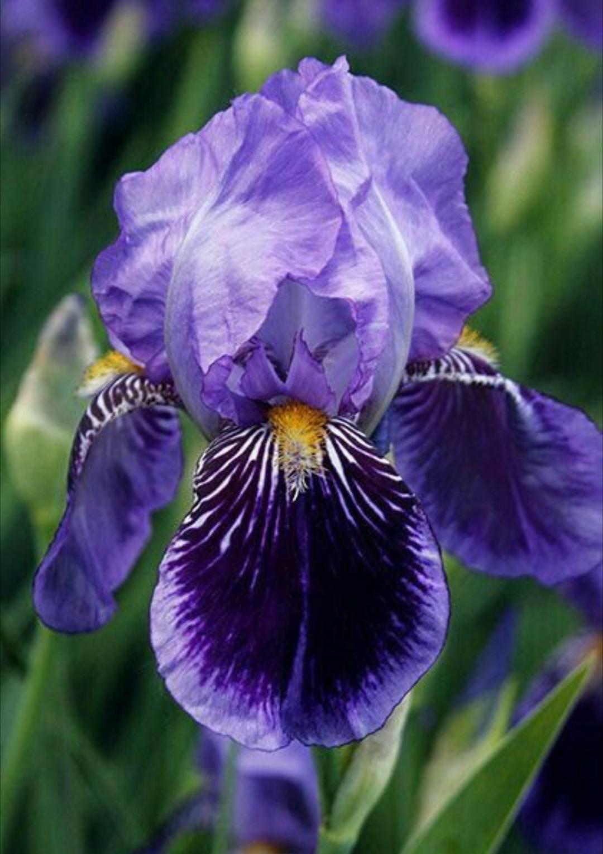 Iris Type Flower Iris Pinterest Iris Flowers And Gardens
