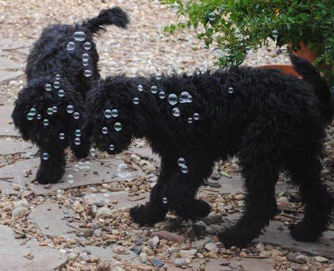 Medium Black Australian Labradoodle Boys Curious About Bubbles