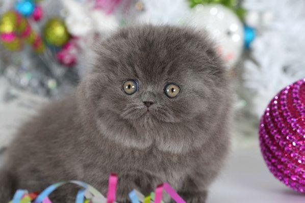 Blue Teacup Rug Hugger Kitten Www Dollfacepersiankittens Com Persian Cats For White