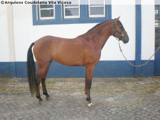 Lusitano - stallion Baton