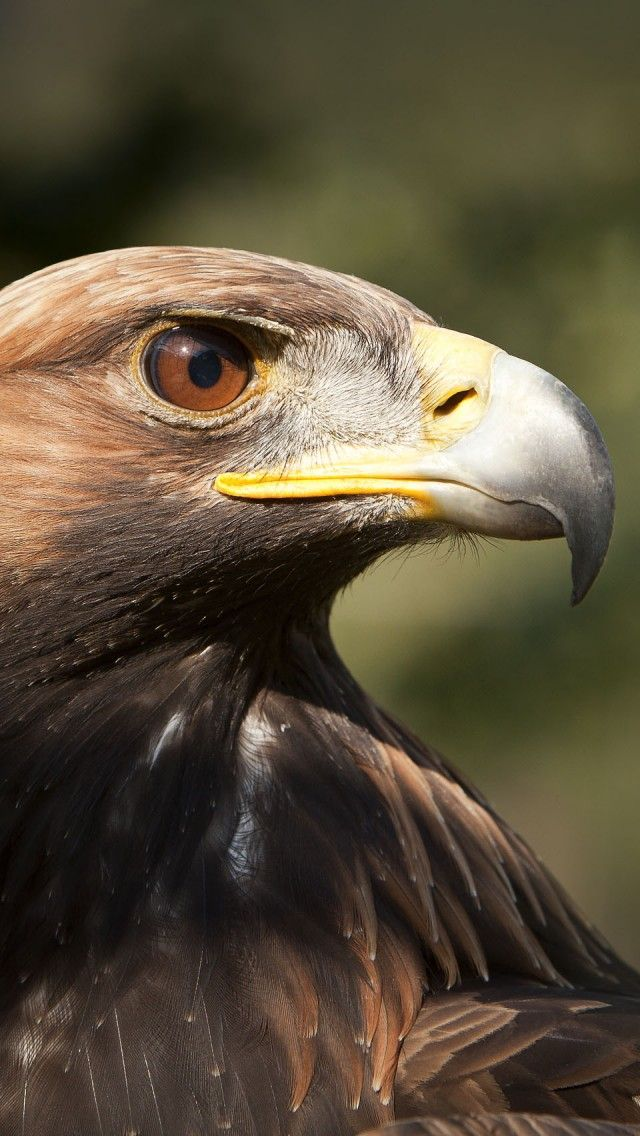 Jewel Eyed Golden Eagle Animales Pajaros Hermosos Aves Rapaces