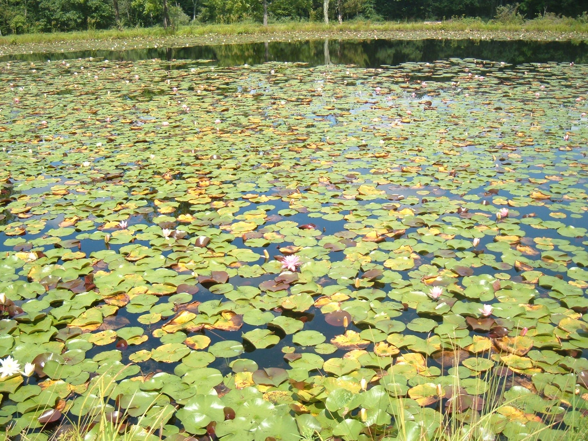 Close up of lily pads in pond in Pa. 7-31-2015. ~ Suzy Starr Photo<3