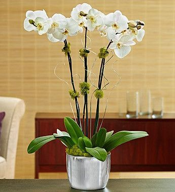 Silver Celebrations Orchid