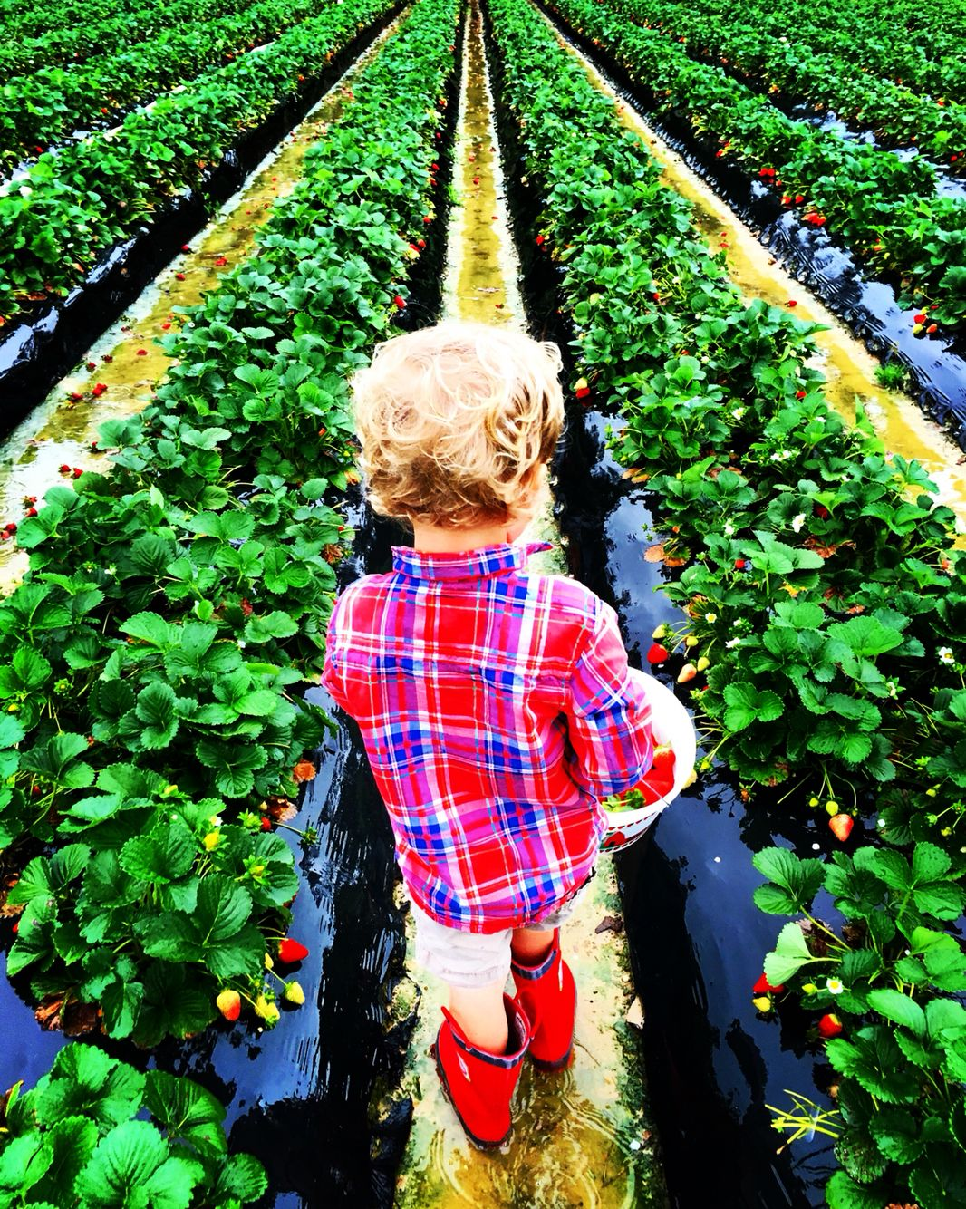 Visit to the strawberry farm - fun trip to take with young kids.