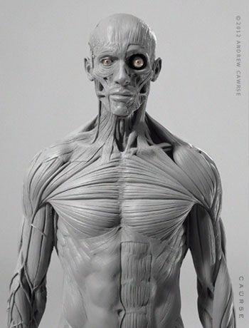AnatomyTools.com -- This model shows ideal proportions & superficial ...
