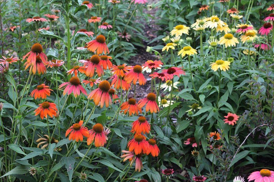 Try Growing Cheyenne Spirit Coneflower It S Beautiful Deer Resistant Attracts Pollinators And It S Ut Gardens Plants Native Garden Summer Blooming Flowers