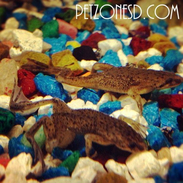 Dwarf Frogs For Sale