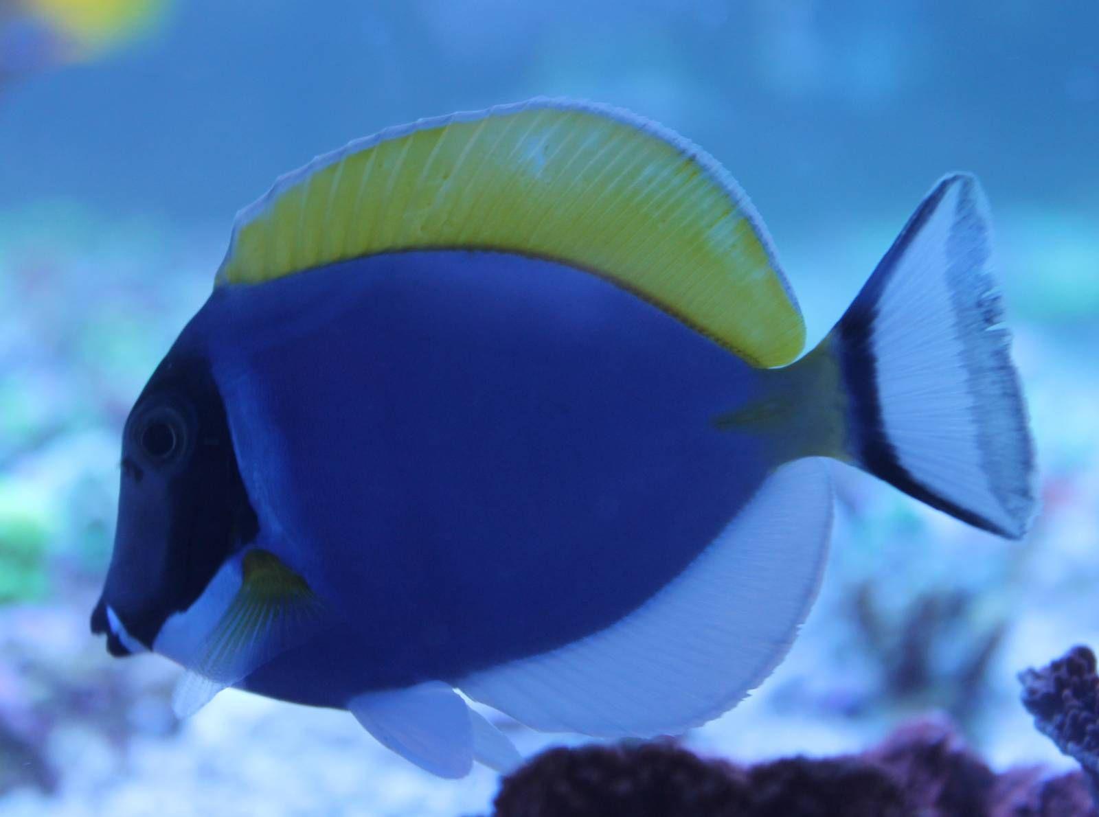 Powder Blue Tang Acanthurus Leucosternon Fish Pet Fish Powder Blue