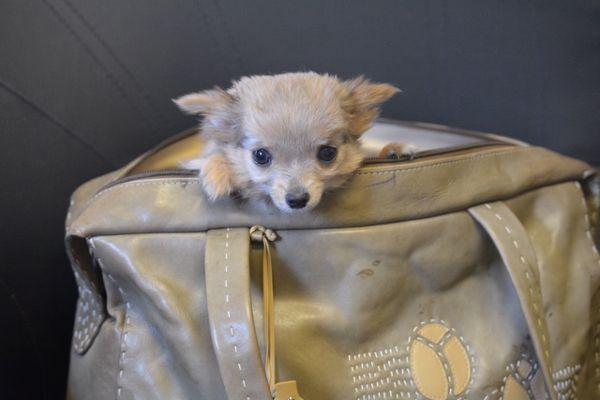 Pedigree Chihuahua Long Haired Boy Chihuahua Puppies Rehome Dog Chihuahua