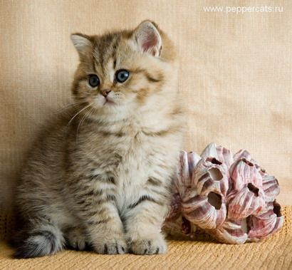 British Kitten Golden Shaded Brassika Peppercats Cats And Kittens British Shorthair Kittens Kittens Cutest