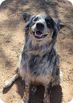 Parker Adopted Dog Burleson Tx Australian Shepherd