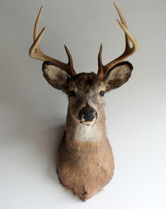 Deer Head Mount >> Vintage Adult Taxidermy Deer Head Mount With Antler Rack Woodland