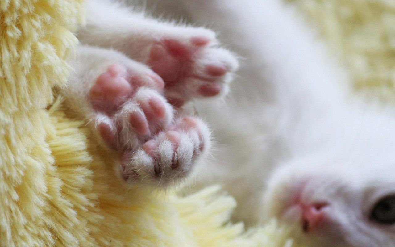Jelly Bean Toes Cat Paws Paw Wallpaper Kitten