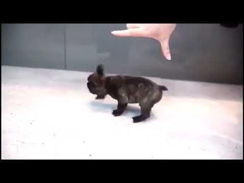 Mini French Bulldog Puppy For Sale Teacup Frenchie Bulldog