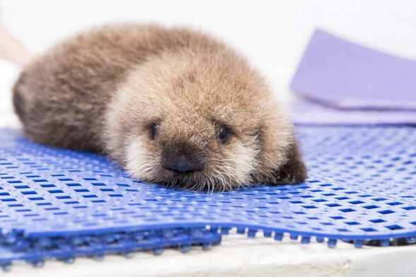 Pup 681. an orphaned baby sea otter, was rescued from a San Mateo Beach in October and recently transported to her new home at the Shedd Aquarium in Chicago.
