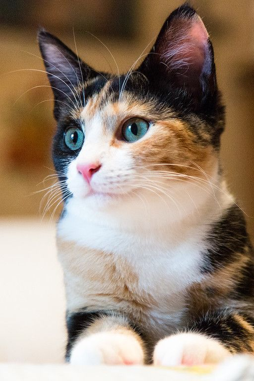 Cat Facts Why Are Calico Cats Almost Always Female Cats Cute