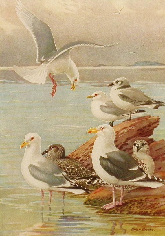 Vintage Allan Brooks Wall Art, Illustration Book Plate No. 307-1, seagulls