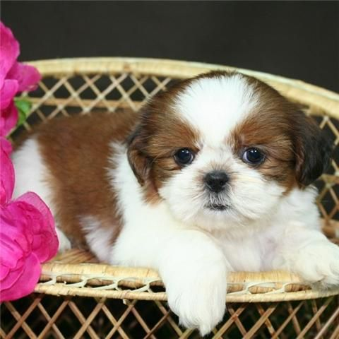 Those Little Faces Just Make My Heart Melt Shih Tzu Puppy Cute Animals Shih Tzu