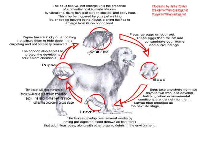 How To Get Rid Of Fleas On Dogs The Flea Life Cycle Fleas Dogs Dog Health