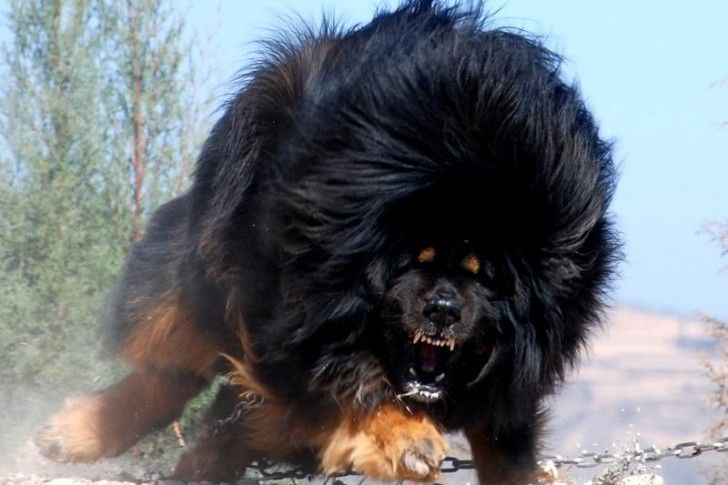 The 11 Best Guard Dogs For Personal Protection Dangerous Dogs