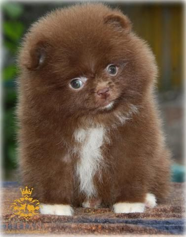 Vivienne Chocolate Female Pom Pomeranian Puppy Dogs And