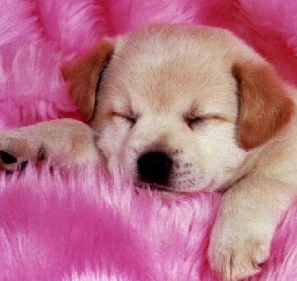 Cute Little Labrodor Retriever Cute Dog Wallpaper Cute Puppy