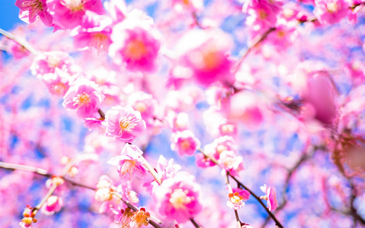 Download Wallpapers Sakura Cherry Blossom Japan Garden Pink Spring Flowers