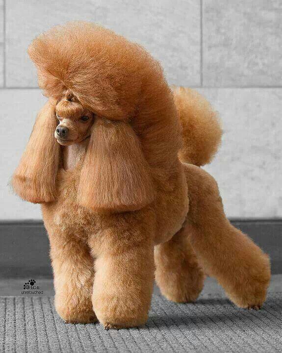 Apricot Miniature Poodle Poodle Grooming Poodle Haircut Poodle