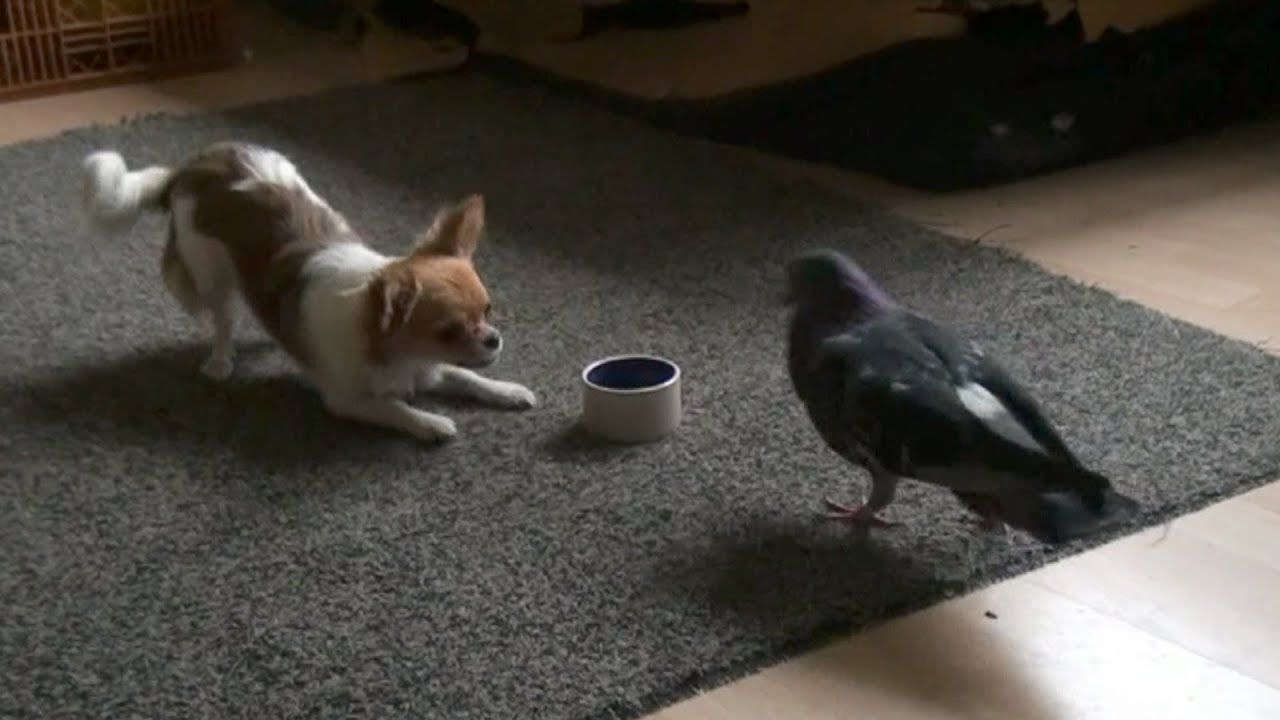 Dog and Bird play and fight over food en 2020