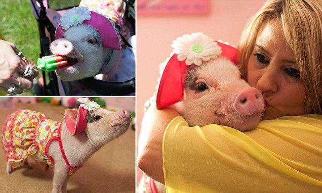 Meet the world's most pampered pig!