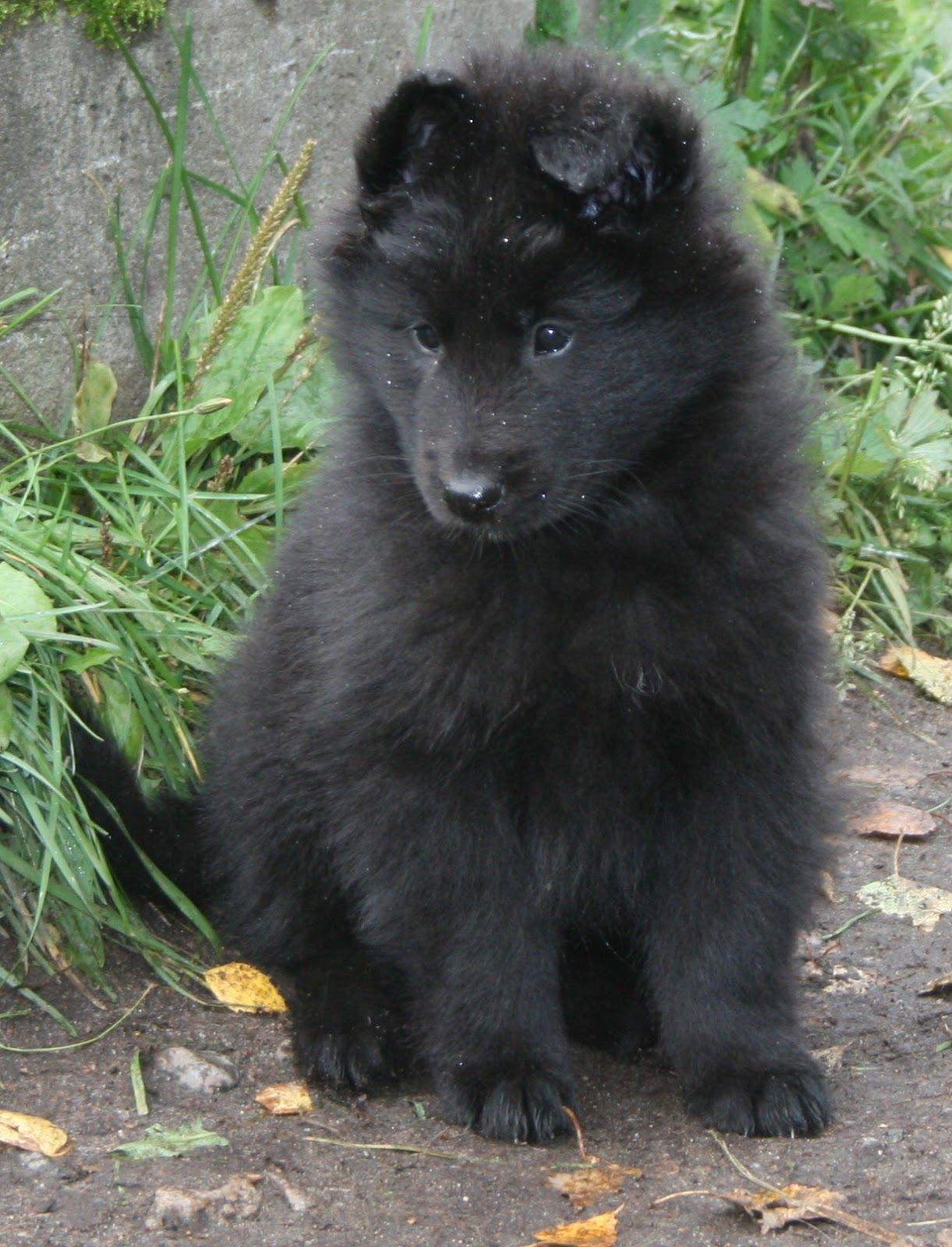 Groenendael Black Belgian Shepherd Groenendael Dogs