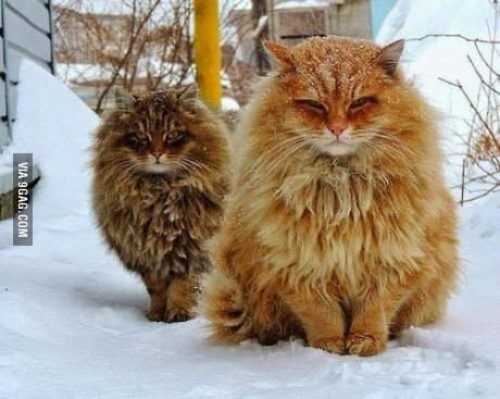 Norwegian Forest Cats Norwegian Forest Cat Siberian Cat Forest Cat