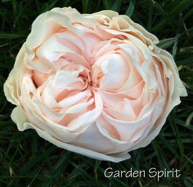 Awesome Garden Spirit Rose