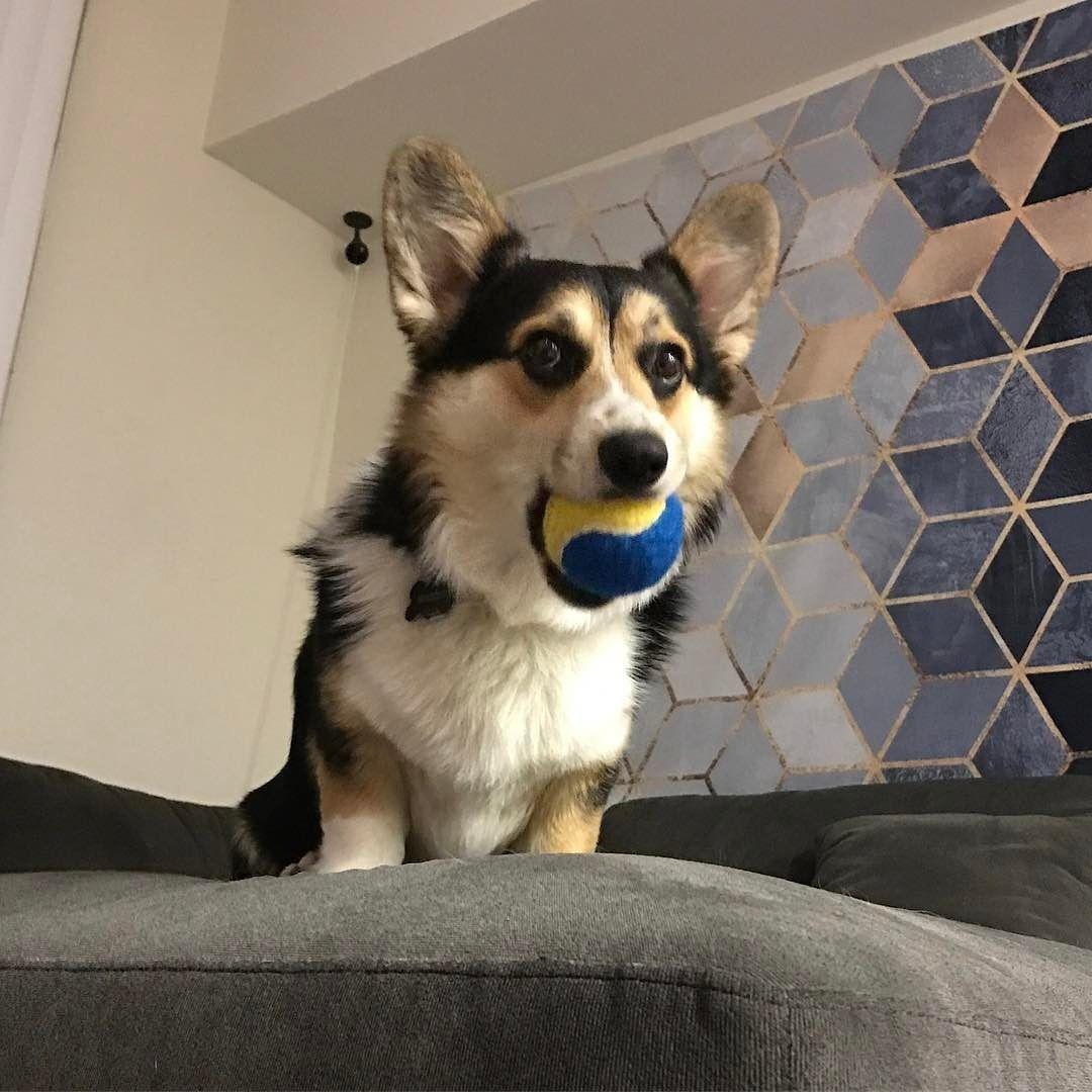 London The Corgi Puppy Puppy Dog Studio Photography Cute