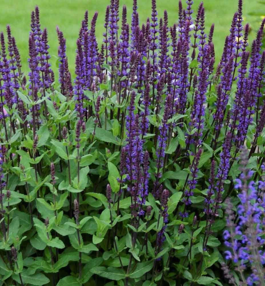 Caradonna salvia caradonna has dark stems that enhance the deep caradonna salvia caradonna has dark stems that enhance the deep indigo purple flowers this mightylinksfo
