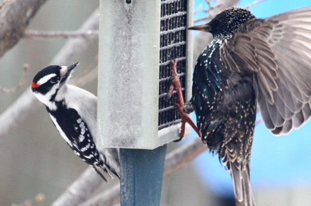 Learn how to keep starlings, grackles, and other so-called bully birds away from your feeders.