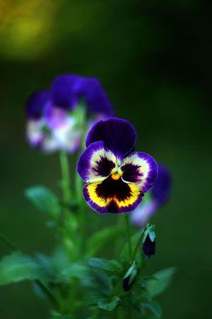 Анютины глазки | Анютины глазки, Красивые цветы, Цветы